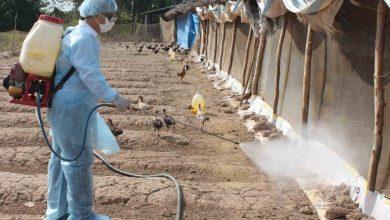 vệ sinh chuồng gà