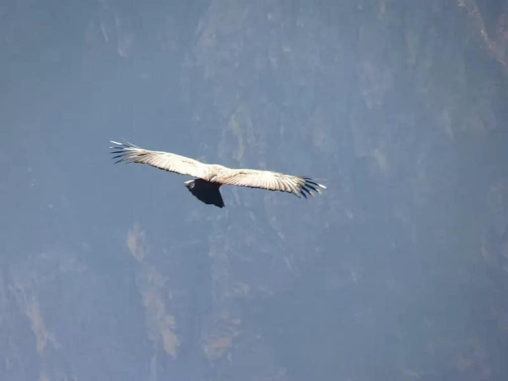 loài chim bay cao nhất